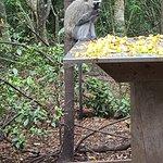 Vervet monkey - Monkeyland Primate Sanctuary