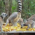 Lemur picnic - Monkeyland Primate Sanctuary