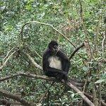 Capuchin monkey - Monkeyland Primate Sanctuary