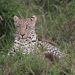 One of the 2 Leopards that we saw.