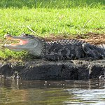 One of the gators basking in the sun at Trafford Lake