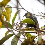 Sylver-backed tanager