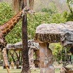 giraffe at khao kheaw zoo