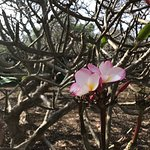 One pink plumeria on a twisted tree !