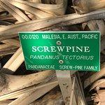 Screwpine tree info