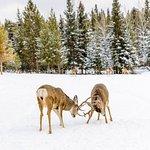 Two Elks fighting
