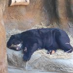 Lazy black bear