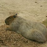 a large rodent. Forgot the name/ Looks real cute though