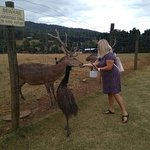 Photo of Red Stag - Deer and Emu Farm