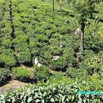 Tea picking in Munnar Kerala 2018