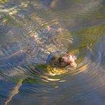 A big old soft shelled turtle