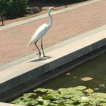 Egret at Lily Pool Terrace
