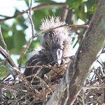 Baby Black Crown night Heron