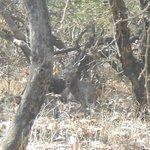 View of sambar deer