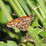 Gulf Fritillary. Naturalist Adventure Tour to Everglades National Park, 2018