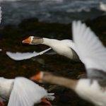 Wild geese, Hebrides