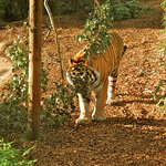 This tiger is following a cinnamon scent planted by zoo staff.