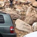 Mountain goats at the top