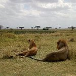 Have a look at this couple of lion in Serengeti,,just relaxing on the open plainof sereng#ijueaf