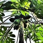 Auch exotisches Obst wächst hier...