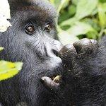 closed shot of gorilla