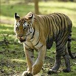 Collarwali Tigeress at Pench