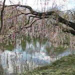 Cherry Blossoms @ Brooklyn Botanical Garden