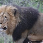 Lion seen on game drive.