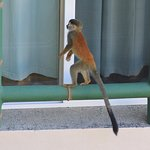 Nosy Squirrel Monkey