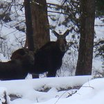 Moose Mom and Baby
