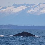 The tell tale curved back of the humpback whale