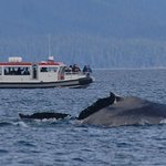 Size of humpbacks compared to sightseeing boat...