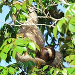 A very relaxed sloth just across a small stream from the lodge grounds