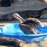 A pelican takes a bath in a pool.
