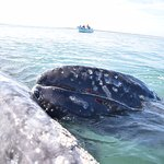 Mom and baby whales in Magdalena Bay