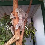 Koala at the wildlife reserve