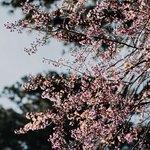 Sakura blossom in Đà Lạt