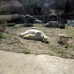 Post-coital Polar bear