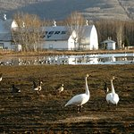 Spring Migration at Creamer's Field Migratory Waterfowl Refuge