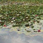 Red waterlillies