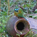 Motmot, a resident in the gardens of the Pura Vida