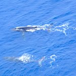 Whales in Molokai Channel
