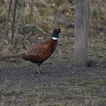 Pheasant at feeders near visitor centre