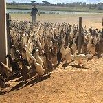 Duck parade Vergenoegd wine estate