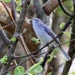 Blue- grey Gnatcatcher