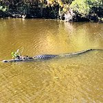 Jean Lafitte National Historical Park and Preserve - alligator with lily on his head