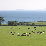 Thank You Kerry Cows!