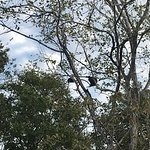 Howler monkeys - playing in the adjoining trees for my entertainment