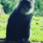 this is blue monkey in the forest zone