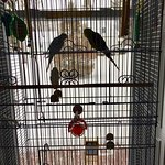 Two parakeets in Parlor/Drawing Room